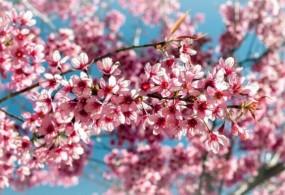 Những Cung Đường Đà Lạt Mùa Hoa Mai Anh Đào Đẹp Nhất